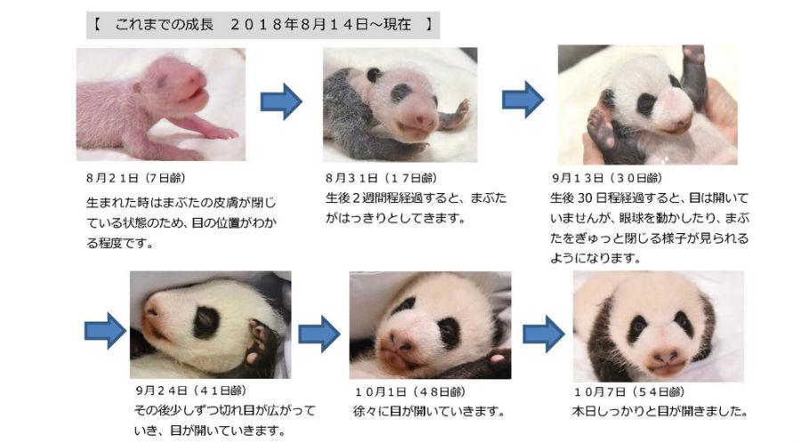 赤ちゃんパンダの誕生からの成長過程