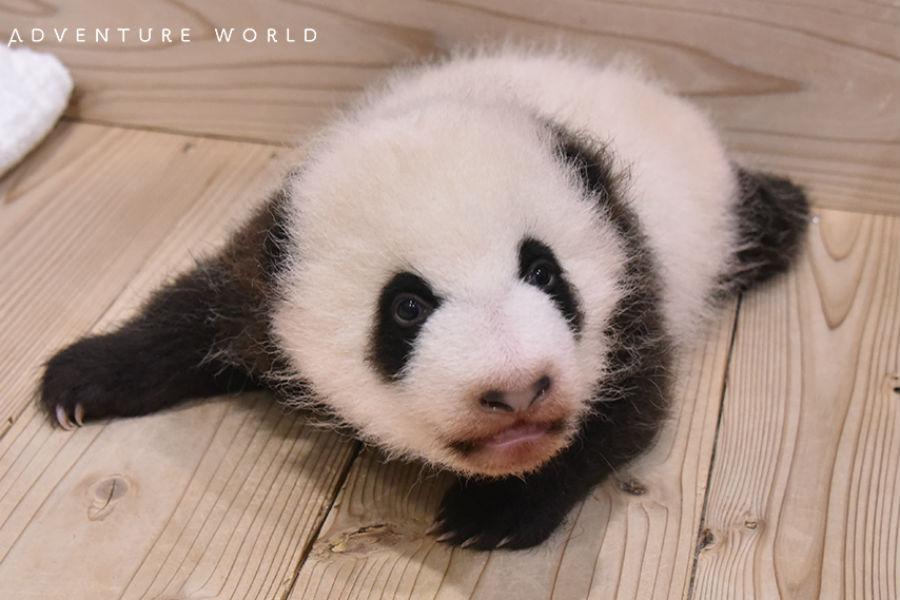 出生時に15.5センチだった全長は、51センチにまで成長したジャイアントパンダの赤ちゃん