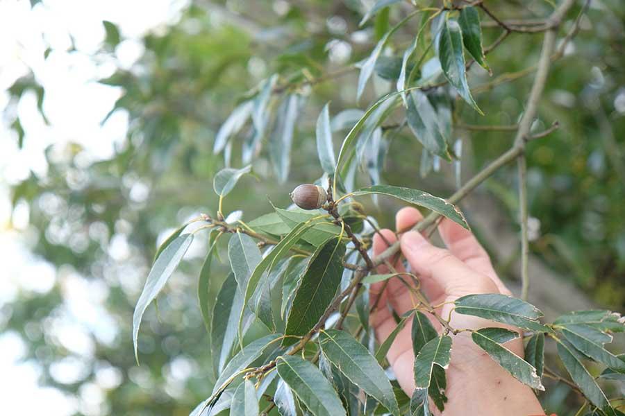ドングリが実る様子も間近で見ることができる。「枝や葉は優しく触ってくださいね」と林さん