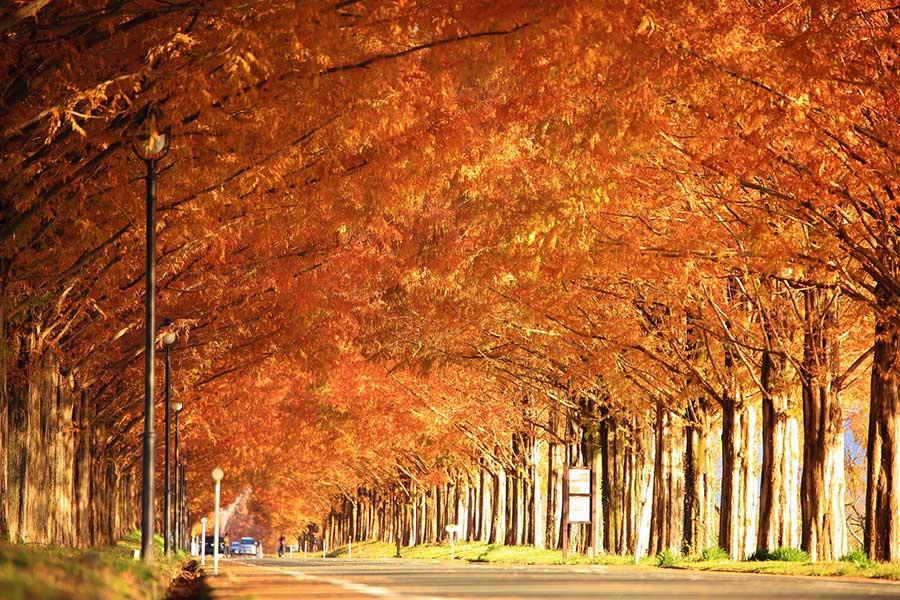 紅葉の時期のメタセコイア並木。この景色目当てに多くの人が訪れる