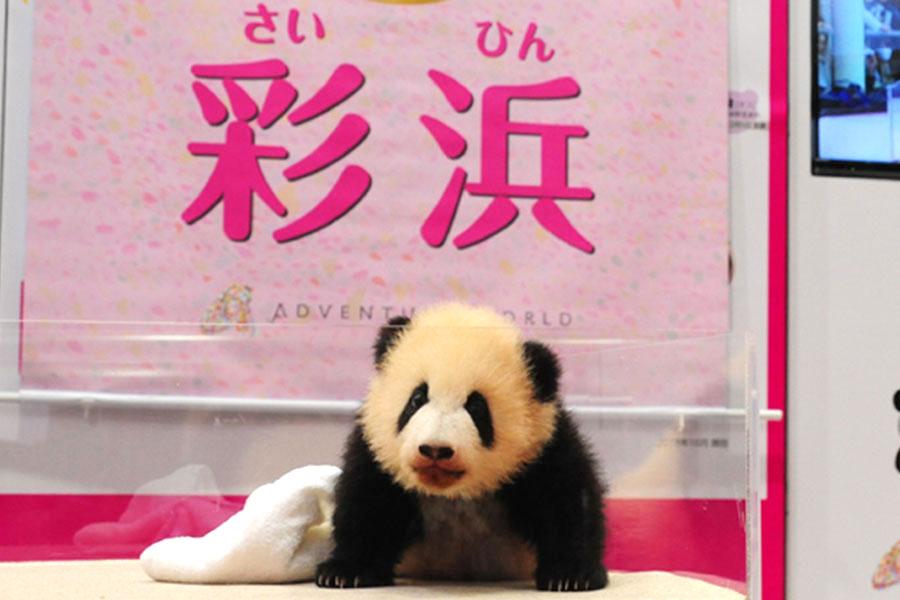生後4カ月にして名前が決定したジャイアントパンダの赤ちゃん・彩浜(さいひん)