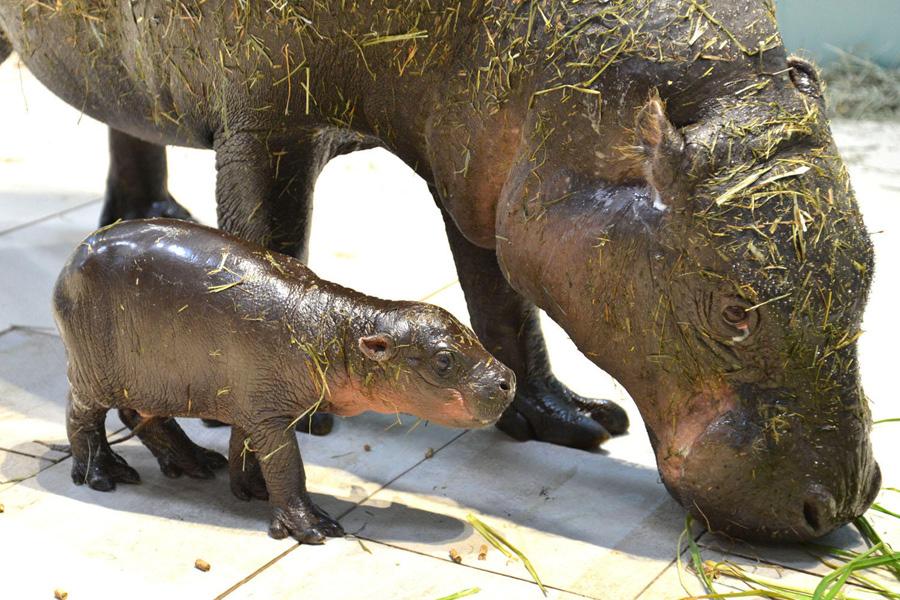 母親のフルフルに寄り添うミニカバの赤ちゃん