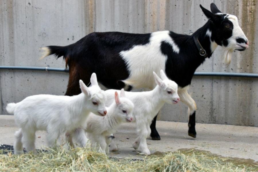 3月23日に誕生した「アドベンチャーワールド」のヤギの赤ちゃん