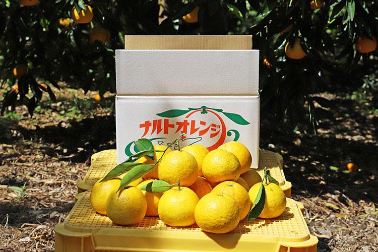 淡路島でのみ栽培され、品種改良がされていない数少ない原種の柑橘類「鳴門オレンジ(鳴門みかん)」