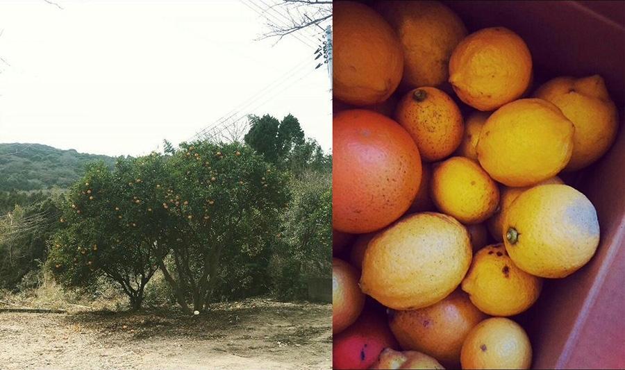 島でほったからしのワイルドなレモンの木、すなわち「野良レモン」だ