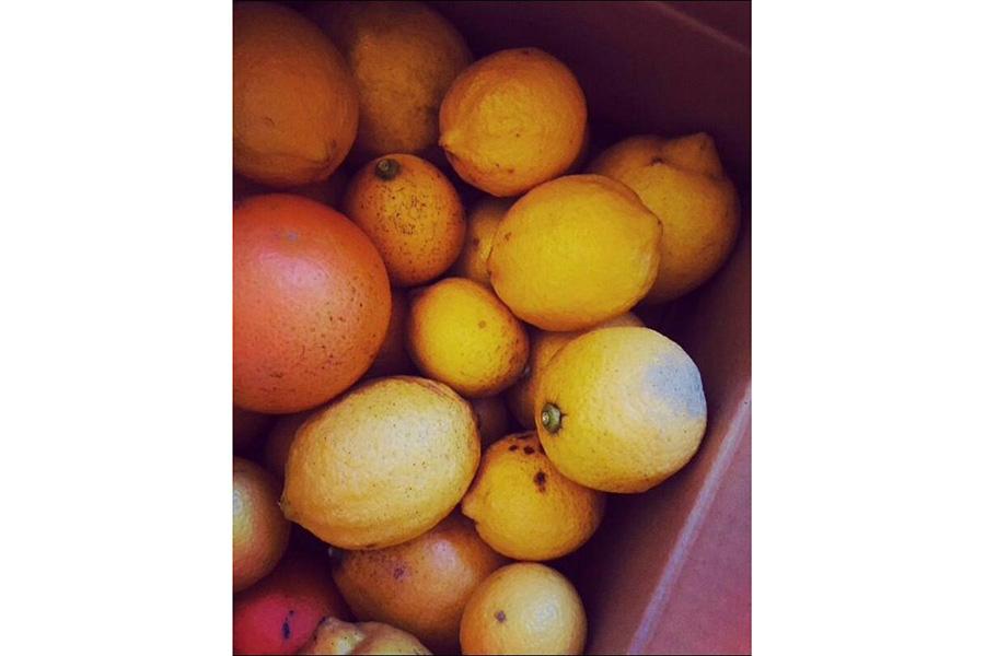 ワイルドに育った「野良レモン」たち