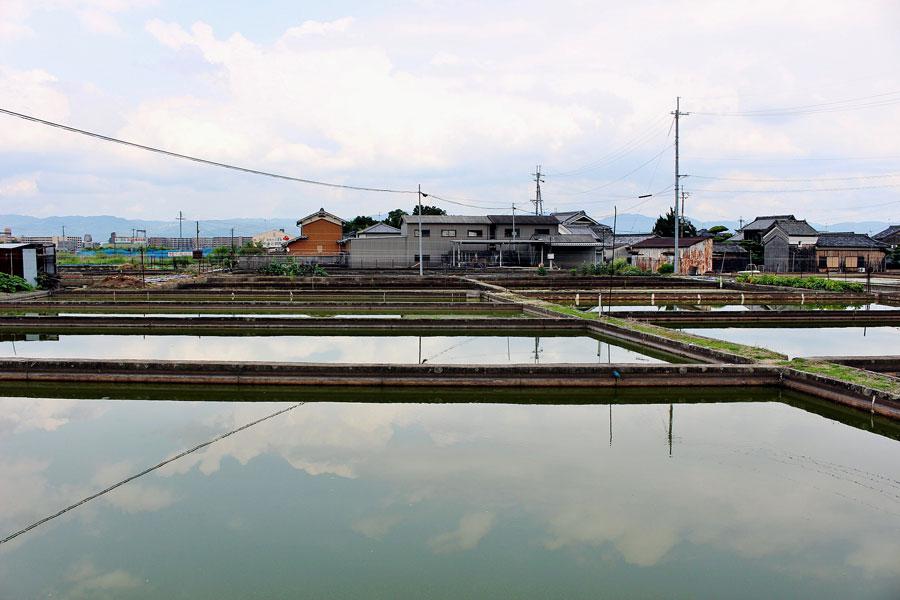 城下町南側に金魚養殖池が広がる風景。農業用ため池が多く、ミジンコなどの浮遊生物が金魚のエサに適していた自然条件がそろっていた