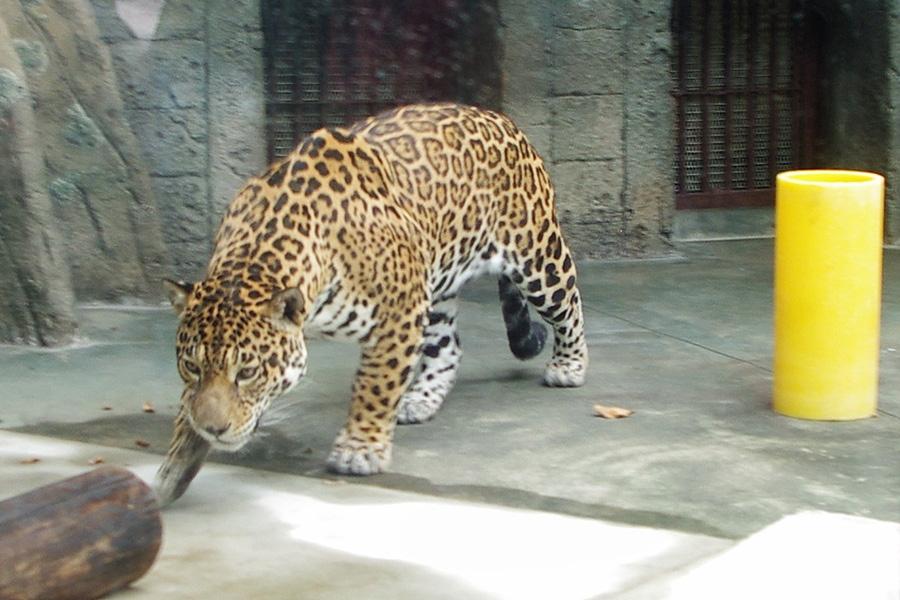 お披露目された「上海動物園」からやってきたジャガー(28日・天王寺動物園)
