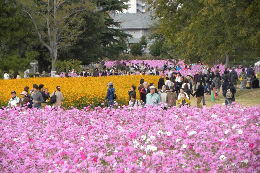 阪神間最大級のコスモス園として市内外から多くの花見客が訪れる「武庫川髭の渡しコスモス園」