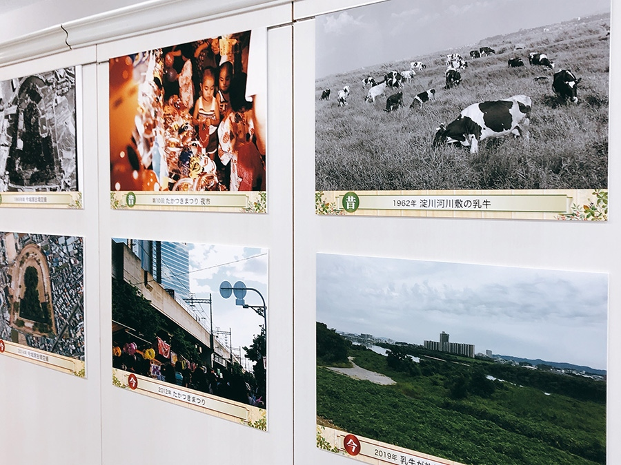 1962年には、淀川河川敷に乳牛が放牧されていた!