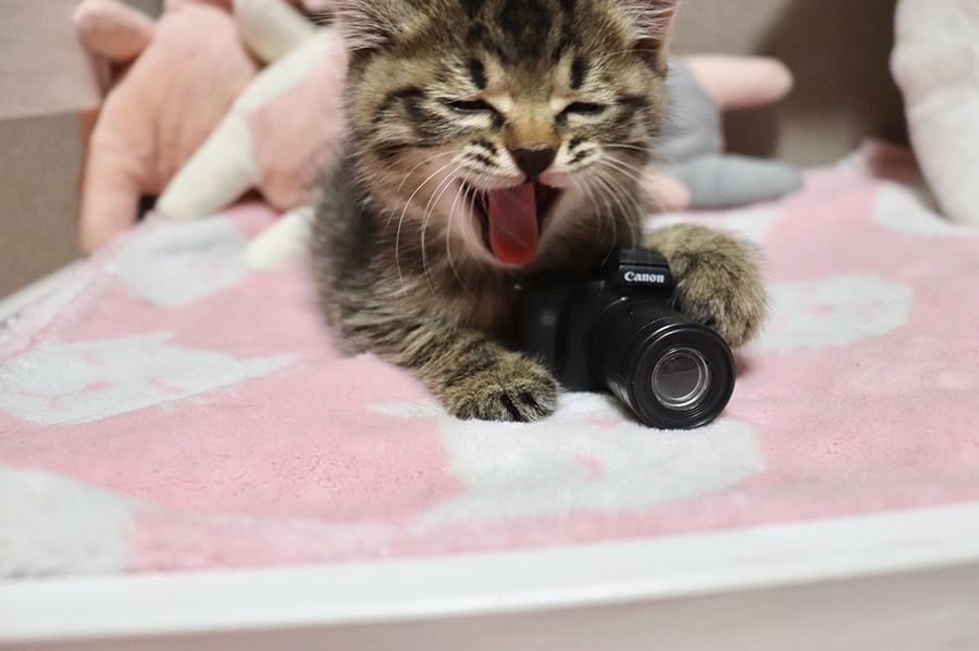 カメラのオモチャで遊びながらあくびをする子猫のエルちゃん(提供:the miさん )