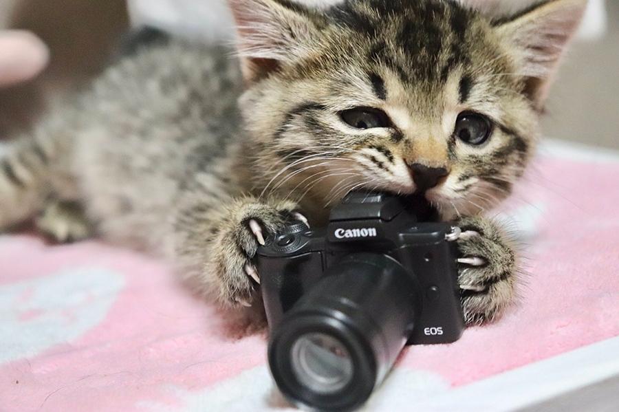 カメラのオモチャをガジガジして遊ぶ子猫のエルちゃん(提供:the miさん )