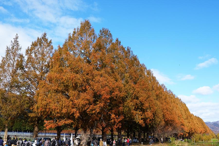 12月上旬に見頃を迎えるメタセコイア並木(11月30日撮影)