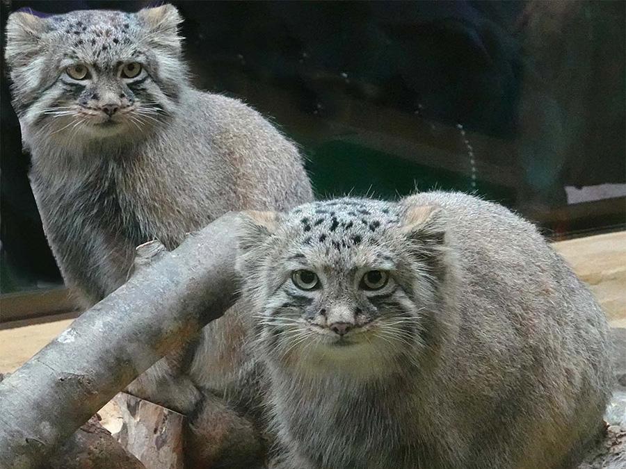 「那須どうぶつ王国」で2019年に生まれたマヌルネコのエルとアズが、同園にお引越し