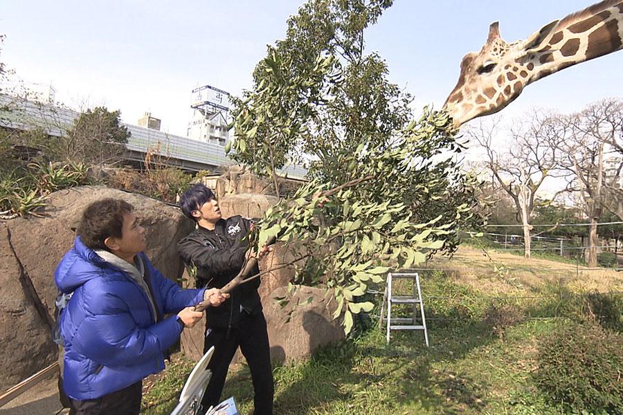 キリン餌やり体験で大興奮する浜田雅功と早乙女太一(写真提供:MBS)