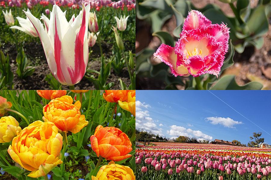 「マリリン」(左上)や「ファンシーフリル」(右上)、「サマンサ」などの個性あるチューリップ20種が咲き誇る