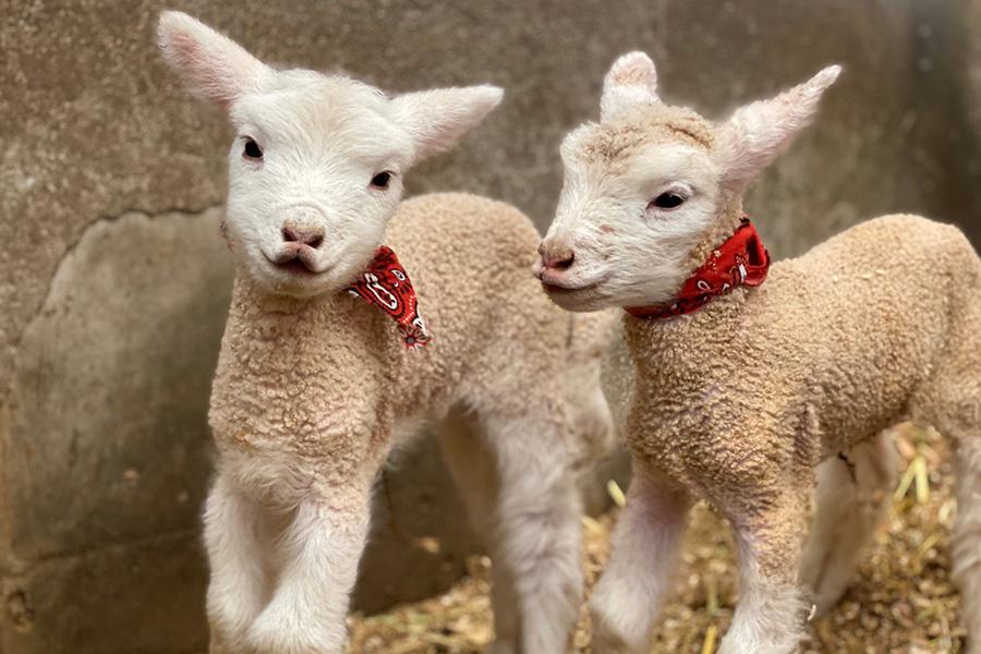 5年ぶりに生まれた子羊たち
