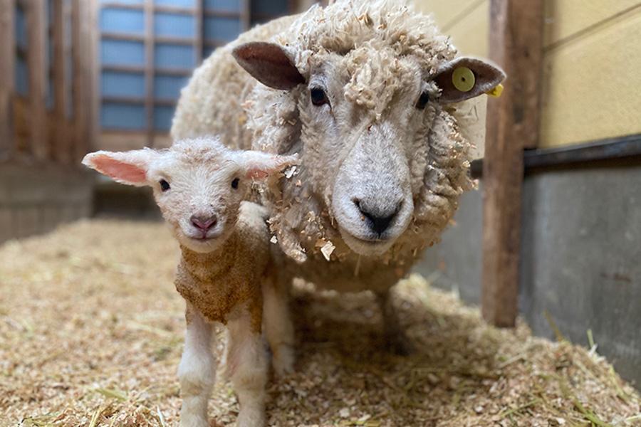親羊と子羊