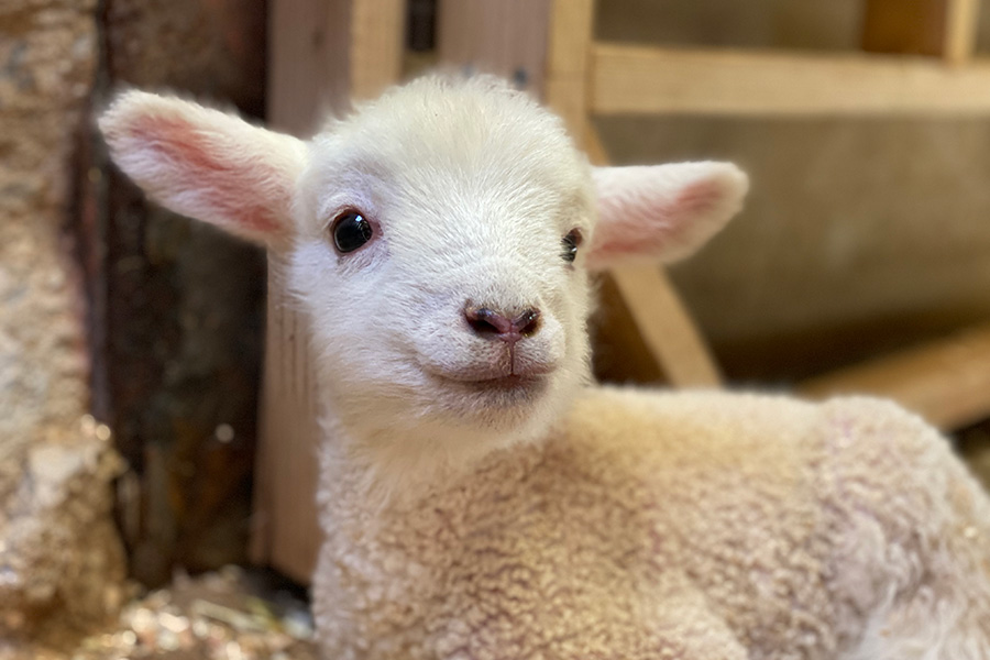 子羊たちは2月27日から3月5日にかけて生まれた