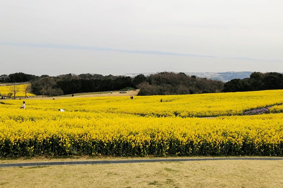 3haもある一面の菜の花畑の先に海と明石海峡大橋と神戸が広がる絶景
