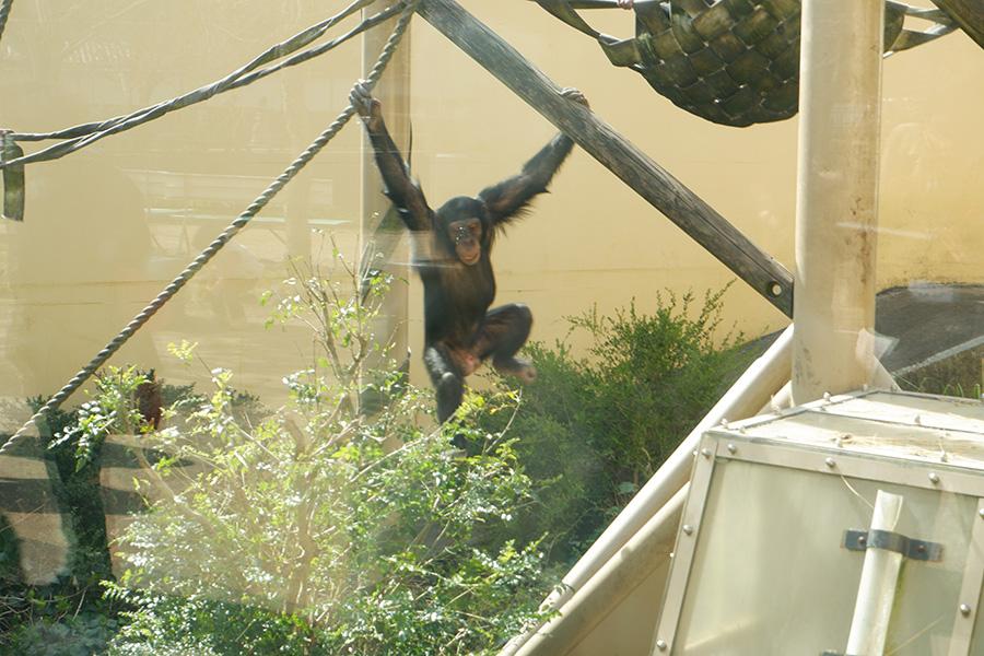 屋内の映像よりも、外で遊ぶほうが好きなチンパンジーさんたち。そらそやな