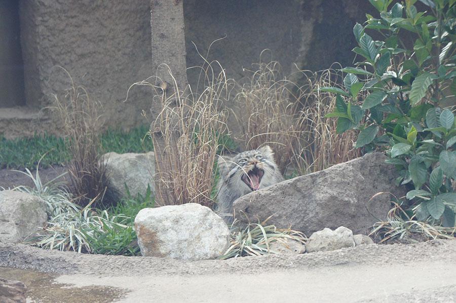 マヌルネコのエル。顔や体の柄は岩に擬態するためのものなのだそう(神戸どうぶつ王国)※マヌルネコは撮影禁止