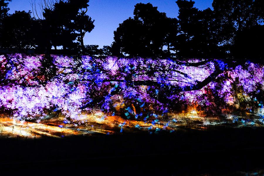 石垣に映し出されるのは桜の映像