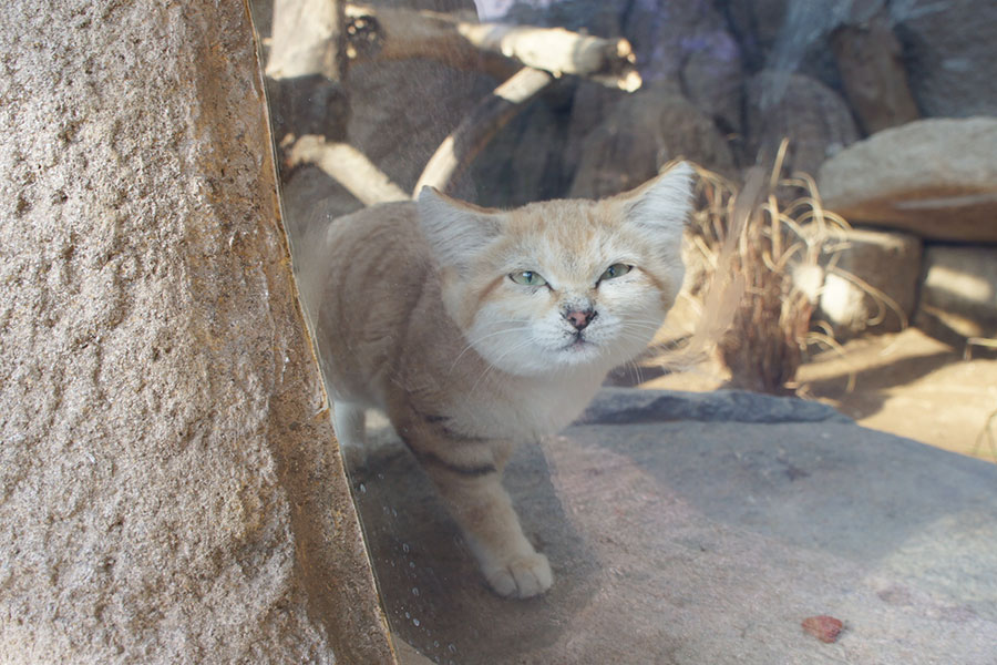 こちらを見つめるスナネコのバリー(神戸どうぶつ王国)