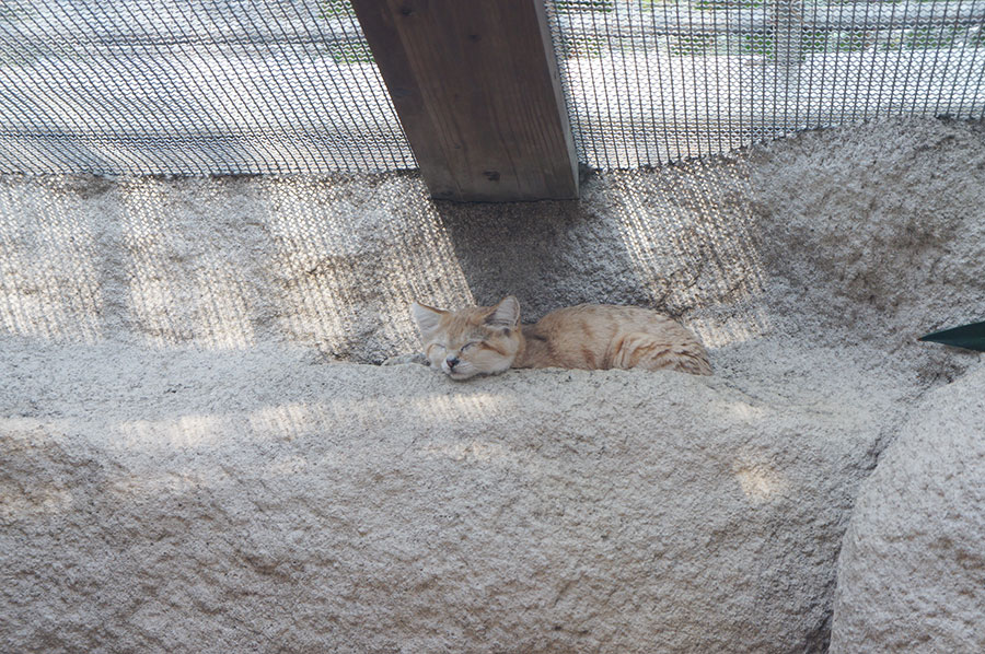 寝るスナネコのバリー(神戸どうぶつ王国)