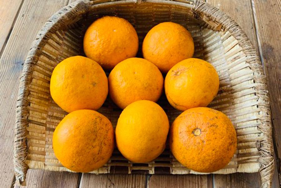 柑橘類を育て続ける「松見果樹園」。写真は甘夏より甘い品種で、爽やかな甘酸っぱさのサンフルーツ