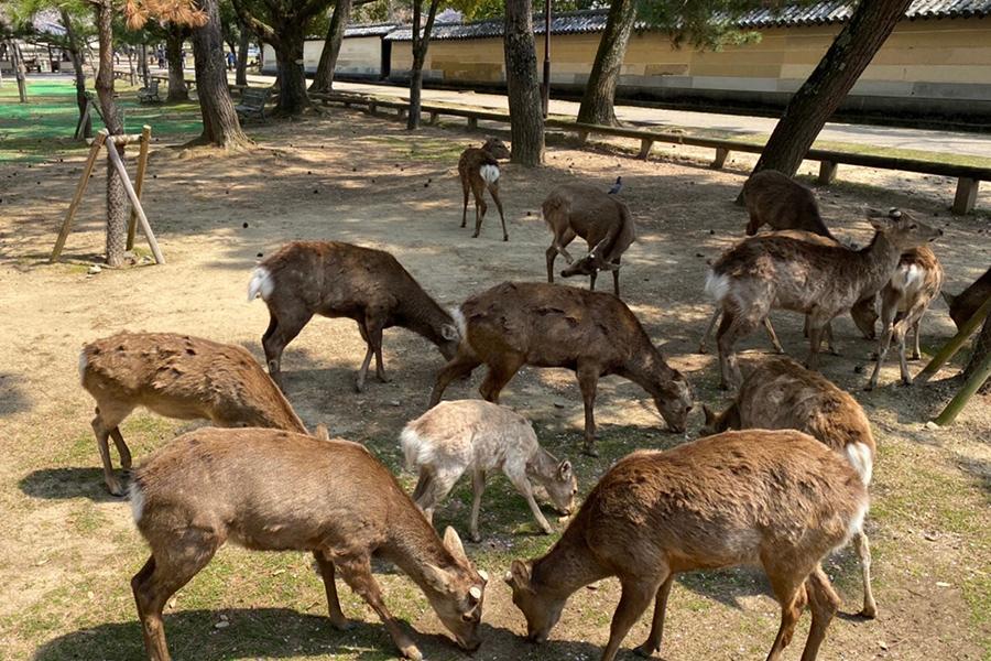 少し前までなら、鹿がいると人集りができていたが、今は鹿だけ