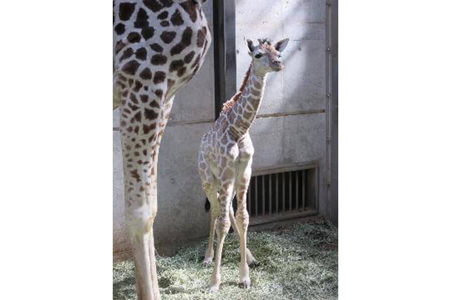 たくましく立ち上がる赤ちゃんキリン(提供:天王寺動物園)