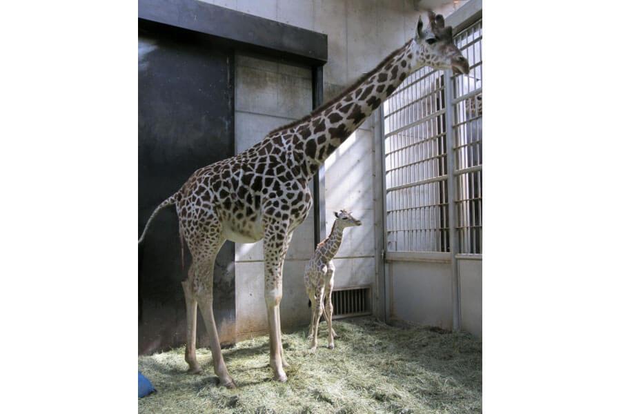 うれしそうな表情の母・ハルカスに寄り添う赤ちゃんキリン(提供:天王寺動物園)