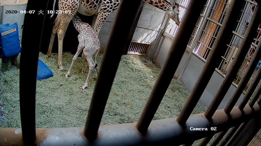 4月7日に出産。赤ちゃんキリンは生まれて10分足らずで、立ち上がって元気に母乳を飲み、飼育員一同一安心したという(提供:天王寺動物園スタッフブログ)