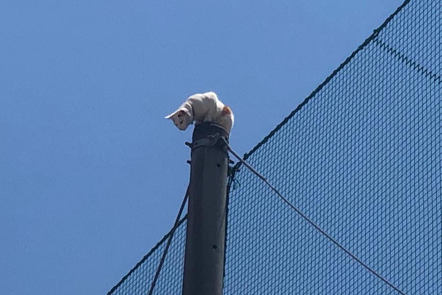 「場所は本学クラブセンターグラウンド南側、附属高校グラウンドの鉄柱。鉄柱にネコが登って、降りられないようだと通報を受けました」(提供:近畿大学)