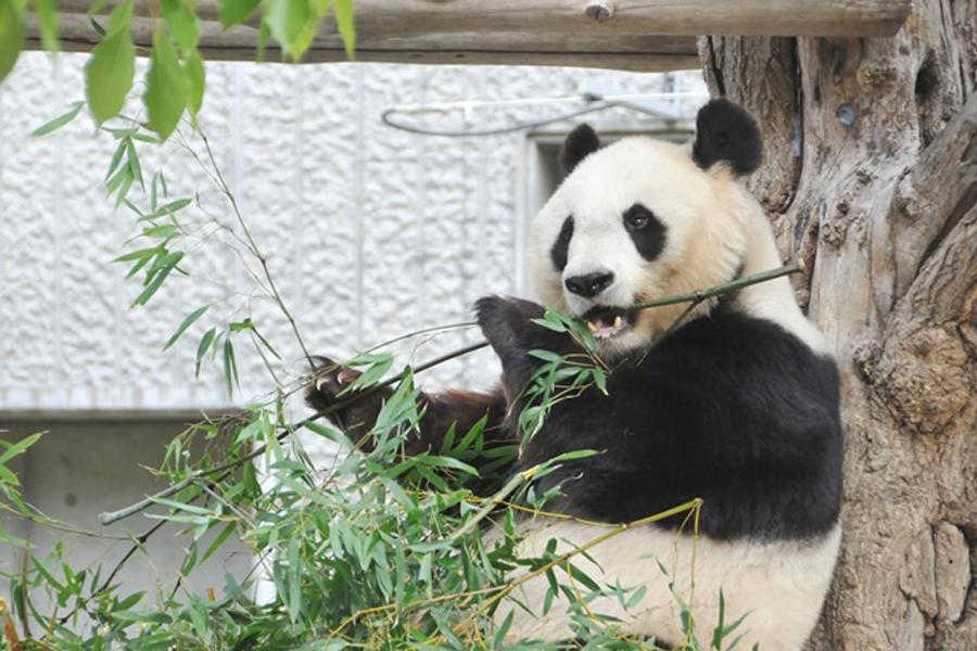 笹の葉を食べるパンダのタンタン(写真提供:神戸市立王子動物園)
