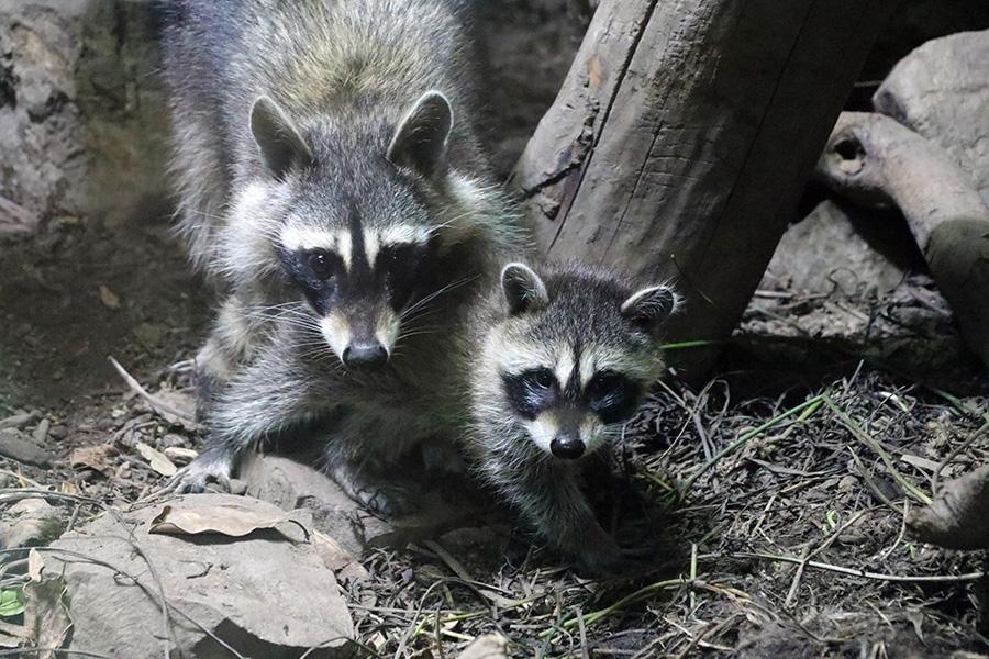 好奇心旺盛な赤ちゃん・プーロ(右)と心配性な母親・パナ