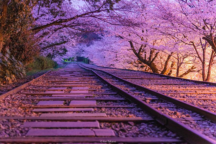 桜満開の「京都蹴上インクライン」(京都市東山区)(提供:Iori Takanoさん)