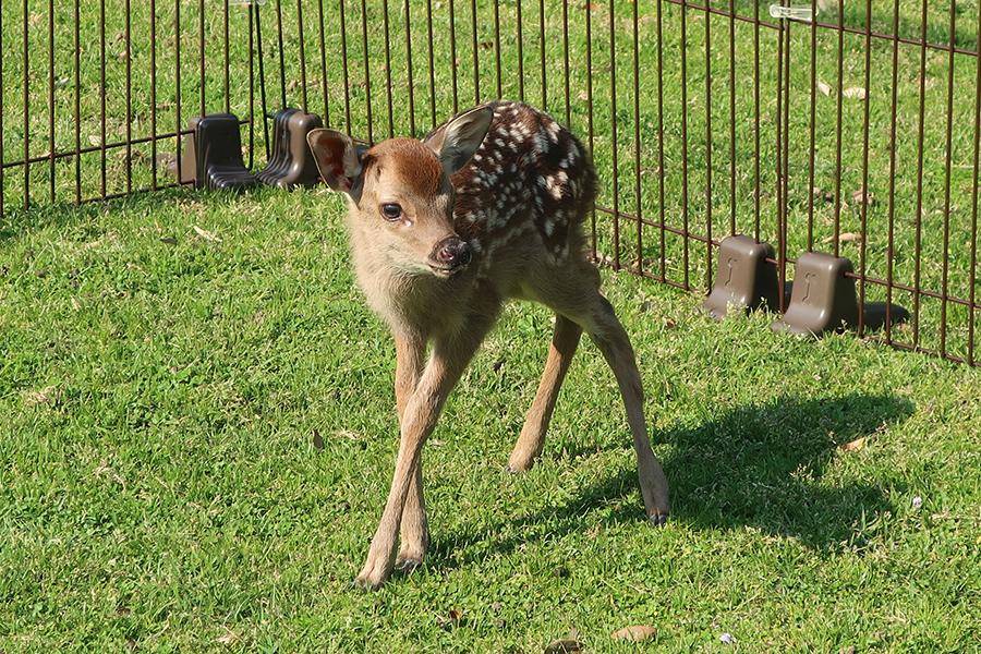 5月15日現在で12頭の赤ちゃん鹿が誕生(提供:奈良の鹿愛護会)