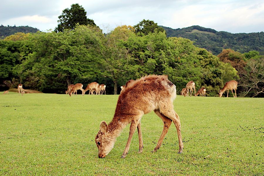 奈良公園の子鹿の様子