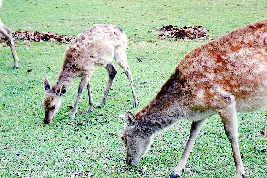 国の天然記念物で野生動物である奈良公園の鹿。食事は芝がメインで、鹿せんべいは鹿にとっては「おやつ」とのこと
