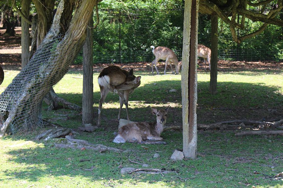 奈良公園の鹿の様子