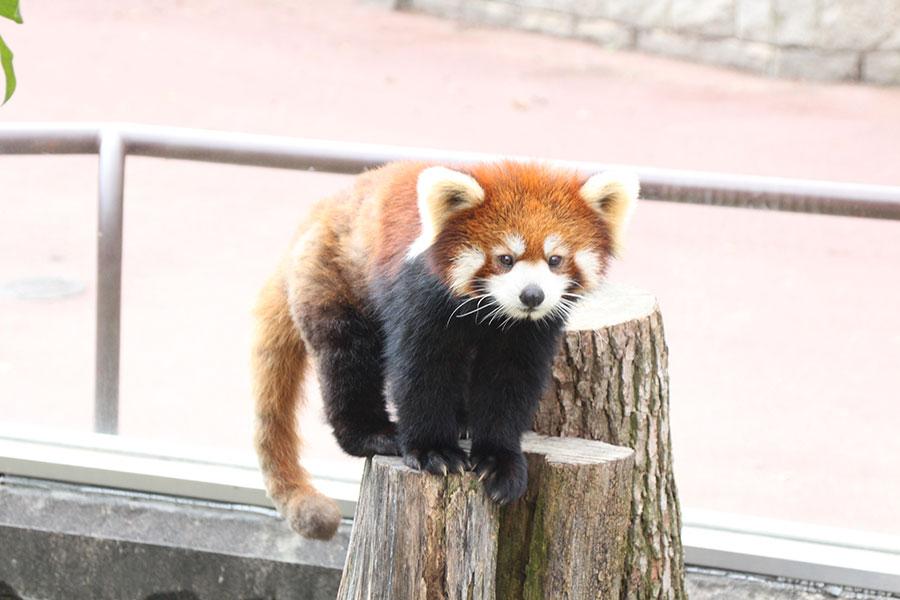 普段のレッサーパンダ(提供:天王寺動物園)