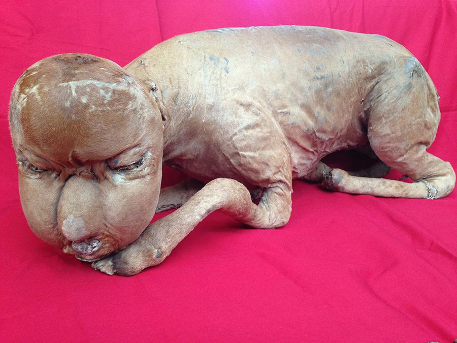件(くだん)の剥製 個人蔵 西日本では、人間の顔をした子牛が生まれて予言を残してすぐに死んでしまうといういい伝えがあり、それが「件」と呼ばれた。この剥製は、実際に「牛人間」として見世物になっていたもの