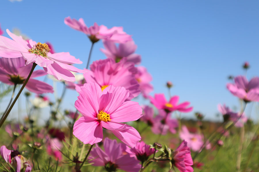 10月中旬にはコスモスを摘んで持って帰れる花摘み体験も実施されるという