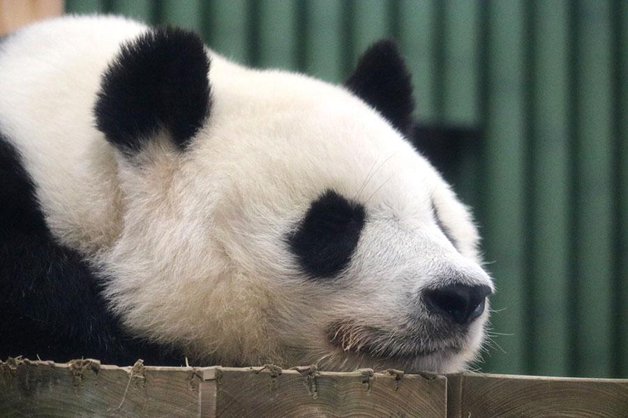 パンダのタンタン、日本で迎えた最後の誕生日