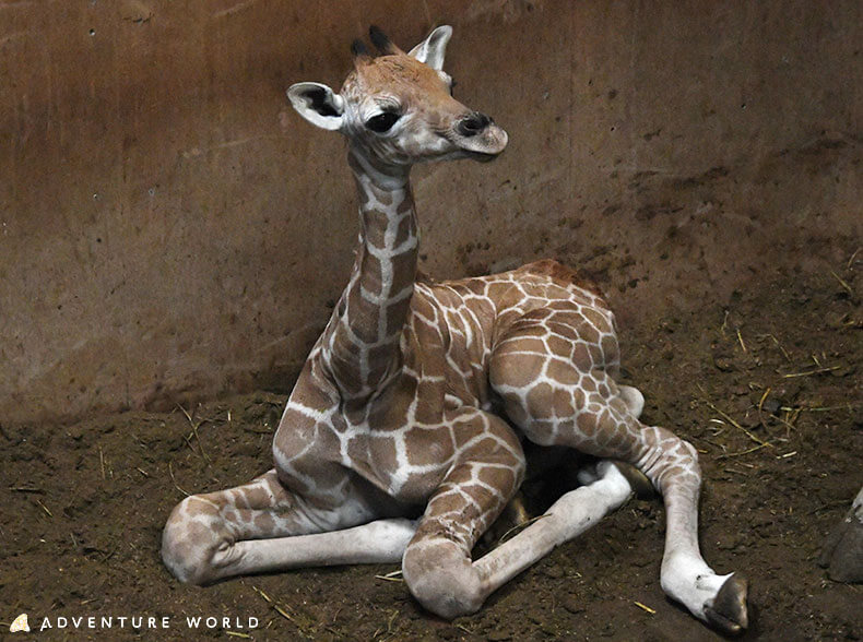 「アドベンチャーワールド」で10月19日に誕生したアミメキリンの赤ちゃん 提供:アドベンチャーワールド