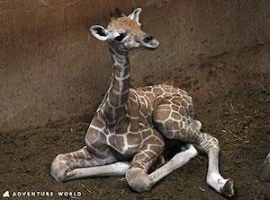 和歌山でアミメキリンの赤ちゃん誕生「母親は初めての出産」