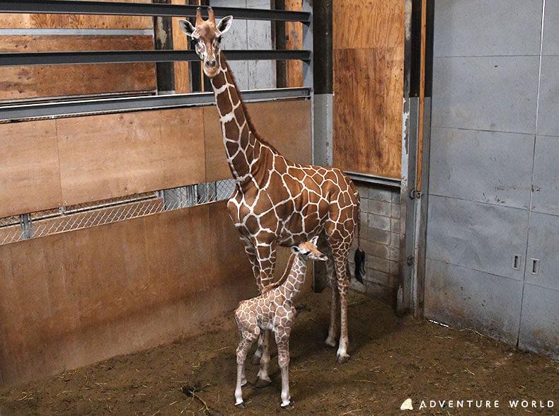 初産ながらしっかりと赤ちゃんを見守る母親キリンと生まれたばかりの赤ちゃんキリン 提供:アドベンチャーワールド