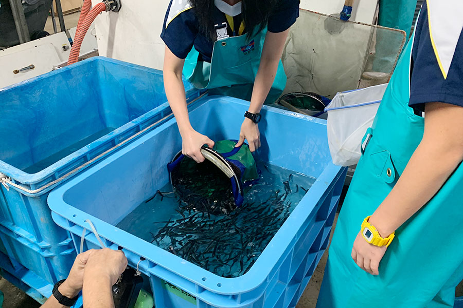 特殊なバケツで水ごとすくい、丁寧にイワシをボックス型の移動用水槽に投入(5日・海遊館)